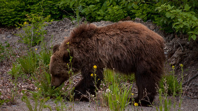 2014 Grizzly sightings