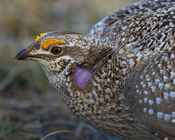 This photograph of male Sharp-tailed GrouseSharp-tailed Grouse was captured in the Sandhills of northwest Nebraska (4/09)    This photograph is protected by the U.S. Copyright Laws and shall not to be downloaded or reproduced by any means without the formal written permission of Ken Conger Photography.