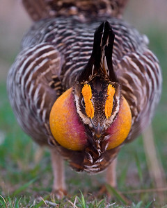 This photograph of a Prairie Chickens was captured on a lek on a private farm in Pawnee County, Nebraska (4/10).    This photograph is protected by the U.S. Copyright Laws and shall not to be downloaded or reproduced by any means without the formal written permission of Ken Conger Photography.