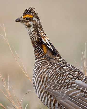 This photograph of male Prairie Chicken was captured in southeast Nebraska (4/09).  This photograph is protected by the U.S. Copyright Laws and shall not to be downloaded or reproduced by any means without the formal written permission of Ken Conger Photography.