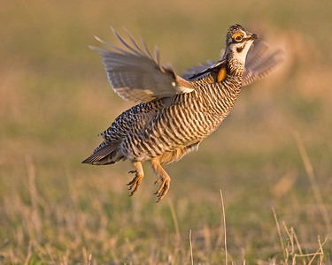 This photograph of a Prairie Chicken was captured on a lek on a private farm in Pawnee County, Nebraska (4/10).    This photograph is protected by the U.S. Copyright Laws and shall not to be downloaded or reproduced by any means without the formal written permission of Ken Conger Photography.
