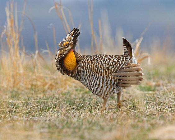 This photograph of male Prairie Chicken was captured in southeast Nebraska (4/09)  This photograph is protected by the U.S. Copyright Laws and shall not to be downloaded or reproduced by any means without the formal written permission of Ken Conger Photography.