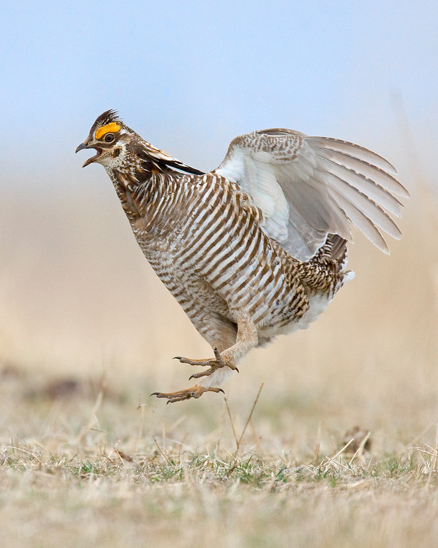 This photograph of jumping male Prairie Chicken was captured in southeast Nebraska (4/09).    This photograph is protected by the U.S. Copyright Laws and shall not to be downloaded or reproduced by any means without the formal written permission of Ken Conger Photography.