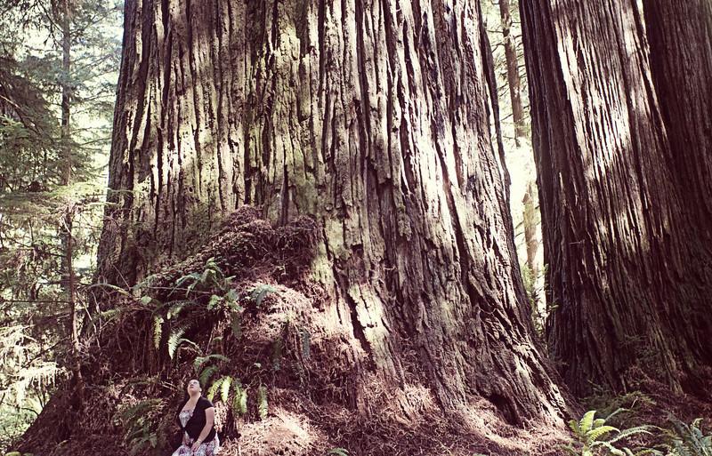 The  Grove of Titans- Coastal Redwoods