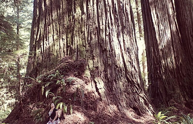 The  Grove of Titans- Coastal Redwoods