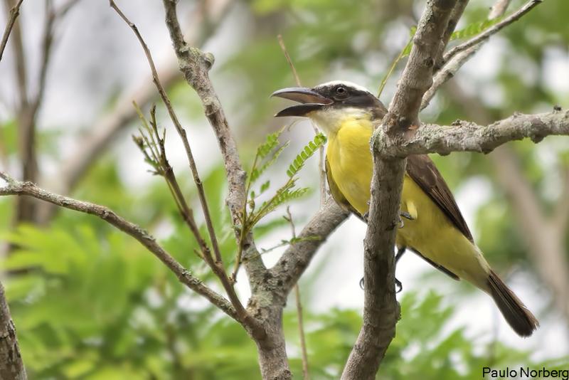 Megarynchus pitangua<br /> Neinei<br /> Boat-billed Flycatcher<br /> Ñei ñei - Pitangua guasu