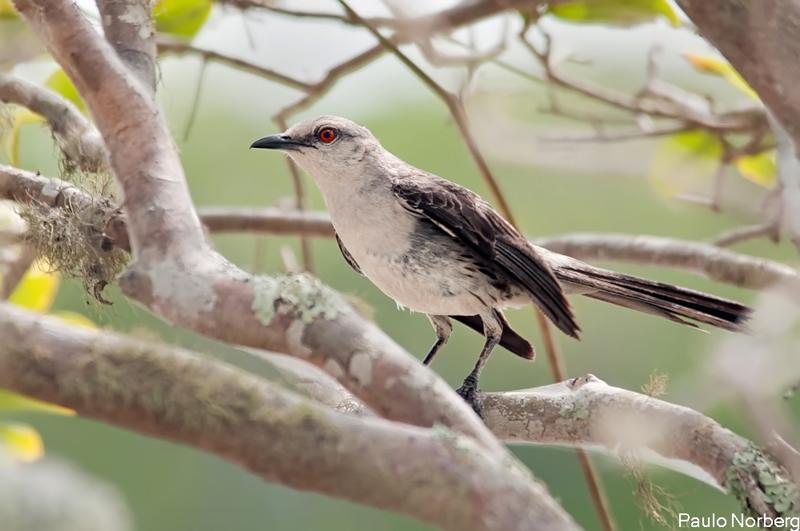 Mimus gilvus<br /> Sabiá-da-praia<br /> Tropical Mockingbird<br /> Cenzontle tropical