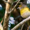 Hylophilus thoracicus<br /> Vite-vite<br /> Lemon-chested Greenlet<br /> Verderón Vientre Gris