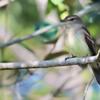 Cnemotriccus fuscatus<br /> Guaracavuçu<br /> Fuscous Flycatcher<br /> Mosqueta ceja blanca - Guarakavusu