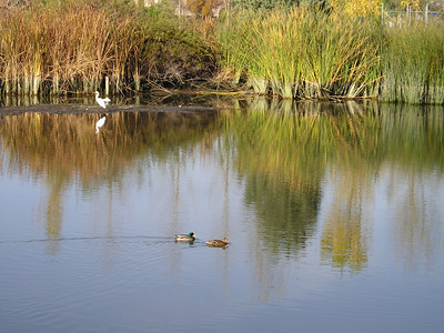 A few mallards cruised along the river as well.