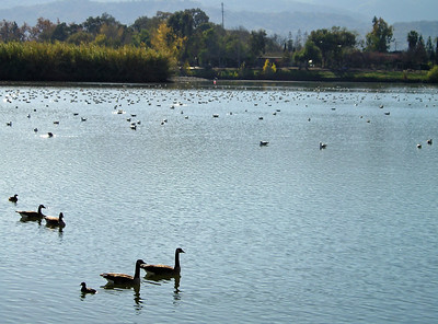 Canada Geese and a lot of other water birds.