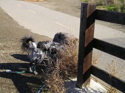 I don't have many photos that show just how curly Boost's tail really is. This is a Border Collie tail?