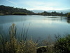 Almaden Lake from the north end. Water birds, probably mostly seagulls, cover its surface.