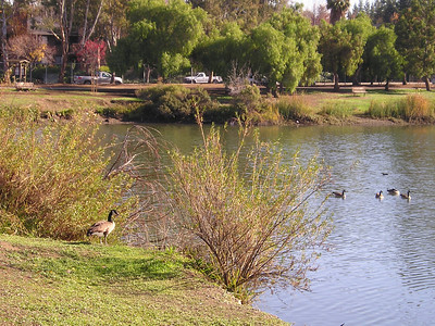 A few Canada Geese hung out at the lake's edge.