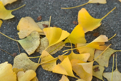 I love the shape and color of the gingko tree's autumn leaves.