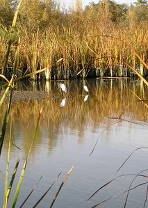 And still more egrets as we head home again.