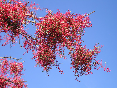 The red berries were quite striking against the blue sky.