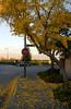 Gingko tree looking towards Mount Hamilton