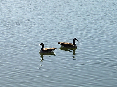 Canada Geese keeping an eye on what I'm up to.