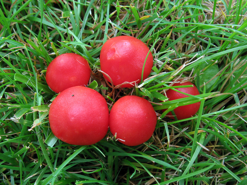 Scarlet waxcap mushrooms in a lawn in the Princess Elizabeth Hospital grounds, St Peter Port, Guernsey