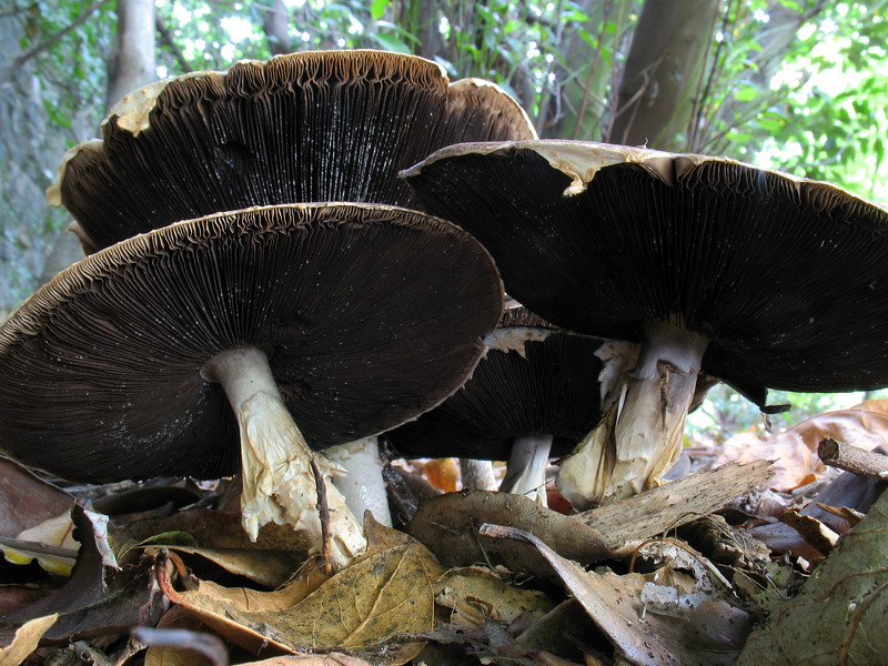 mushrooms St Julians Ave SPP 131008 2427 RLLord smg