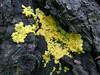 Dog vomit slime mould by the St Saviour Reservoir path, Guernsey