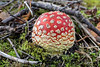 Fly agaric, Amanita muscaria, growing on a road side bank by Shiloh Church, Vale, Guernsey