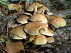 Mushrooms, perhaps honey fungus, growing on a decaying log under Monterey pine trees next to Montville Road, St Peter Port, Guernsey on 27 September 2008.<br /> File No. 270908 1404 <br /> ©RLLord<br /> fishinfo@guernsey.net or sustainableguernsey@gmail.com