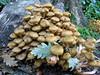 bunch of mushrooms Saumarez Park 091008 2084 smg