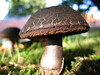 A mushroom growing in the grounds of the Princess Elizabeth Hospital (PEH), St Martin, Guernsey on 3 September 2008<br /> File No. 030908 9199 <br /> ©RLLord<br /> fishinfo@guernsey.net