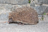 Hedgehog photographed on Route de L'Islet at 11.23 pm on 9 June 2019
