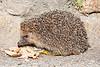 Hedgehog on La Mare Denis, St Martin parish at about 11.31 pm on 13 July 2019