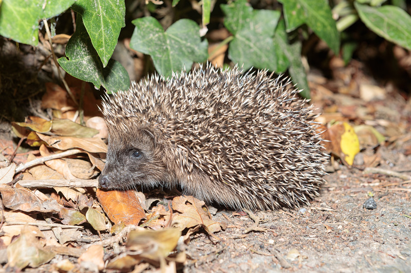 Juvenile hedgehog on Icart Road, St Martin parish photographed at 10.21 pm on 25th August 2019