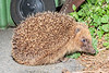 Hedgehog photographed by the waste bins in the car park off Route de Jerbourg across the road from the Doyle monument.