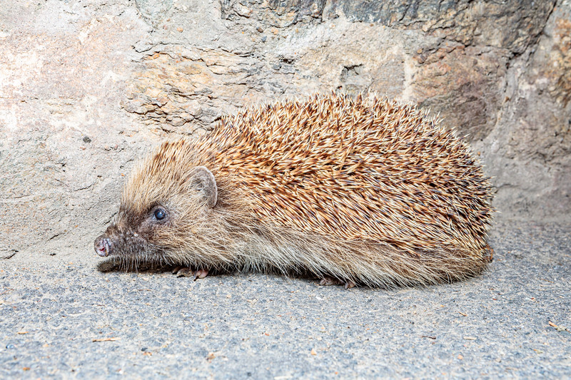 Hedgehog photographed on Saint's Road, St Martin Parish at 10.56 pm on 25th August 2019