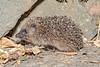 Juvenile hedgehog on Route de Jerbourg, St Martin parish at about 11.15 pm on 13 July 2019
