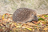 Hedgehog photographed on Longue Rue, St Martin parish at 23.36 pm on 15 July 2019