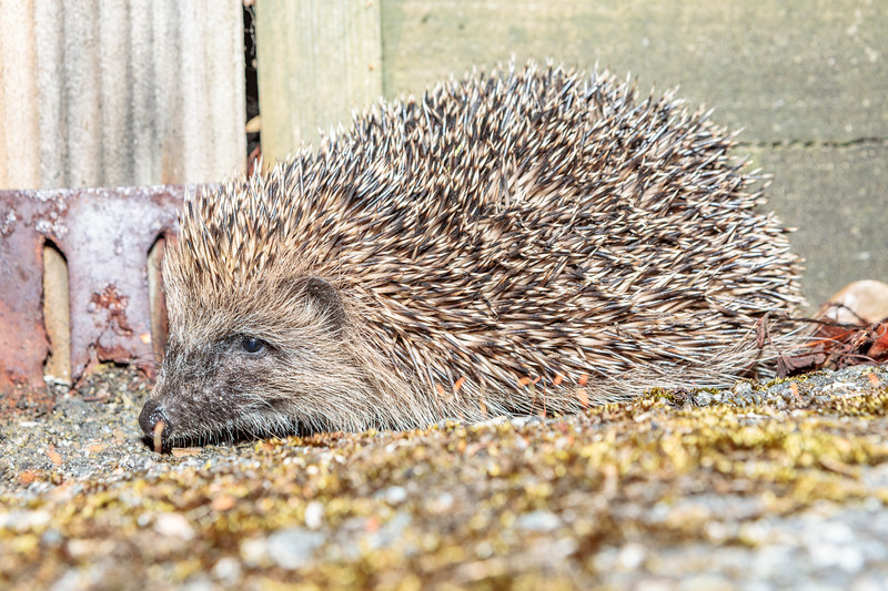Hedgehog photographed in a road leading off Les Vardes, St Peter Port on 15 July 2019