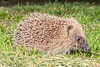 Juvenile hedgehog photographed at 10.47 pm on 2 July 2019 by the Fort Road footpath.