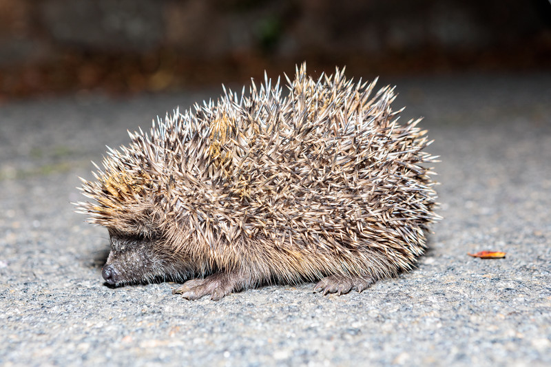 Juvenile hedgehog photographed on Icart Road, St Martin parish at 10.24 pm on 25th August 2019