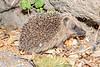 Juvenile hedgehog at corner of Les Hubits and Les Hubits de Bas at about midnight on 13 July 2019