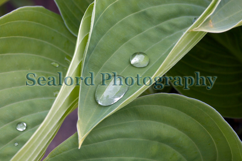 hosta leaves with water drops 020509 ©RLLord 3566 smg