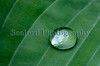 hosta leaf with water drop 020509 ©RLLord 3580 smg
