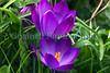 crocus Sealord Garden 280209 ©RLLord 2027 smg