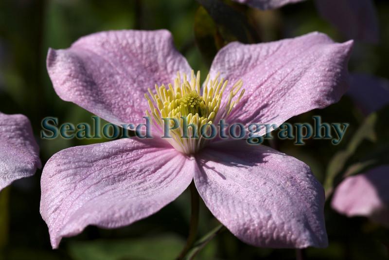 clematis flower garden 220411 ©RLLord 6462 smg