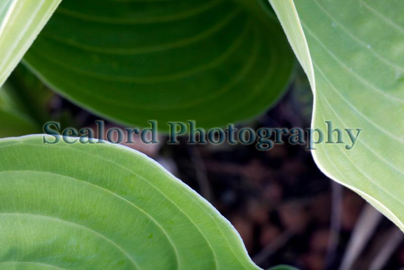 hosta leaves 020509 ©RLLord 3567 smg