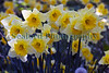 daffodils sunken garden St Peter Port 180411 ©RLLord 6283 smg