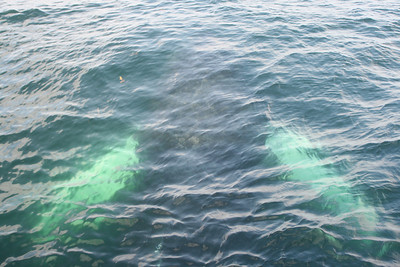Tigris, a humpback whale
