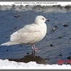 Iceland Gull - February 21, 2009 - Sullivan's Pond, Dartmouth, NS