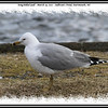 Ring-billed Gull - March 19, 2011 - Sullivan's Pond, Dartmouth, NS